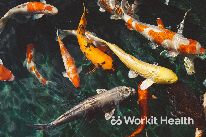 Koi fish swimming together. Image illustrates how we're immersed in our workplace culture.