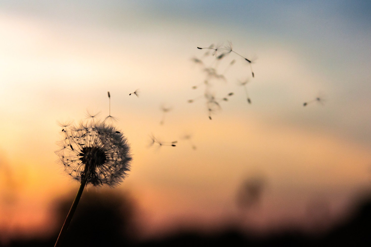 A dandelion puff against the sunset, several seeds blowing away